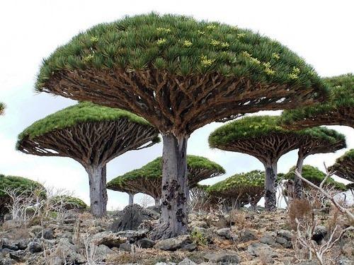 Dracena cinnibaris or dragon's blood tree
