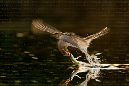 Bird in action by Hungarian photographer Bence Mate