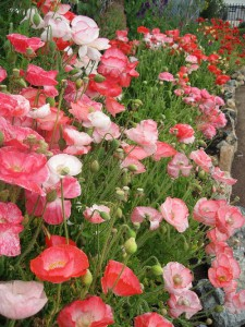 Gentle sleep! Scatter thy drowsiest poppies from above. Horace (Horatio) Smith. Poppies and Sleep