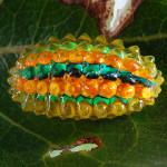 Beneath the leaf - Transparent Jewel Caterpillar