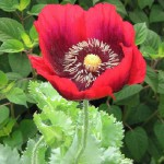 Find me next a Poppy posy, Type of his harangues so dozy. Thomas Moore