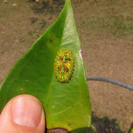 Amazing Jewel Caterpillar