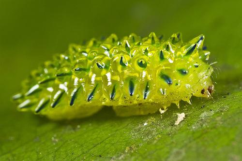 Transparent Jewel Caterpillar
