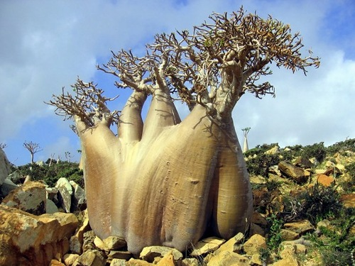 A cucumber tree (Dendrosicyos socotranum)- unrealistic picture, distant alien worlds inhabited by amazing life forms