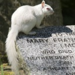 Albino squirrels living in the cemetery in Kent
