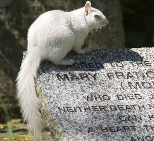 Albino squirrels living in the Margate cemetery in Kent, England