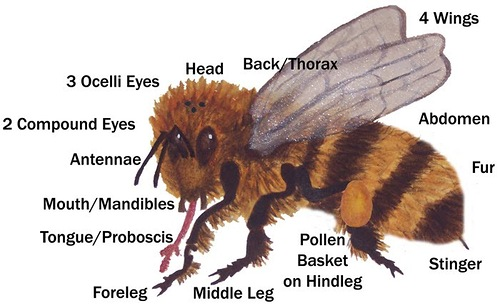 Bees have 5 eyes