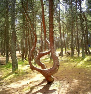 Dancing forest - a unique natural phenomenon