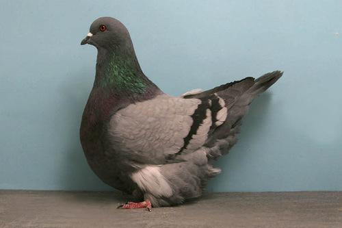 Mondain pigeon grizzle