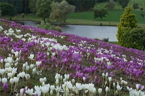 Tulips in Maple Glen garden
