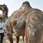 Camel beauty Festival