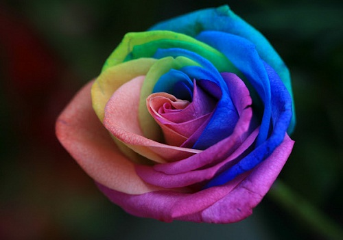 Peter van de Werken's Rainbow roses