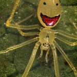 Happy Face spider from Hawaiian islands