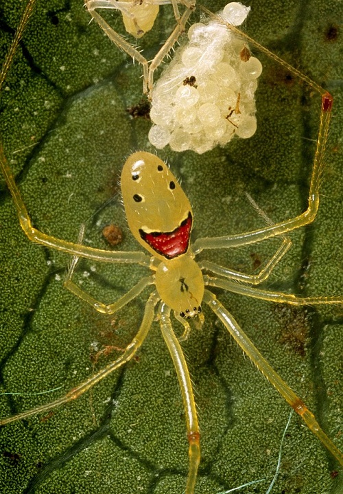 Spider with happy face