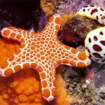 Spotted starfish