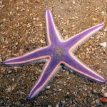 Starfish ocean wonder