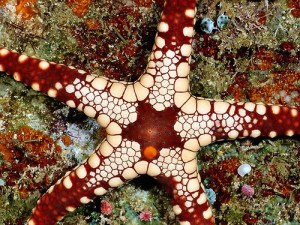 Starfish on a reef in the Solomon Islands. Subspecies of this sea star is determined by the color plates covering its back side. (Photograph by Wolcott Henry)