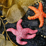 This species of sea stars, living in the Queen Charlotte Islands in British Columbia, usually purple, but they have the ability to change color depending on the environment. (Photograph by Michael Melford)
