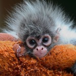 Just adorable baby monkey. Photographer Nikolay Sotskov