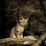 A kitten of sand dune cat