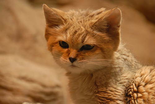 sand dune cat