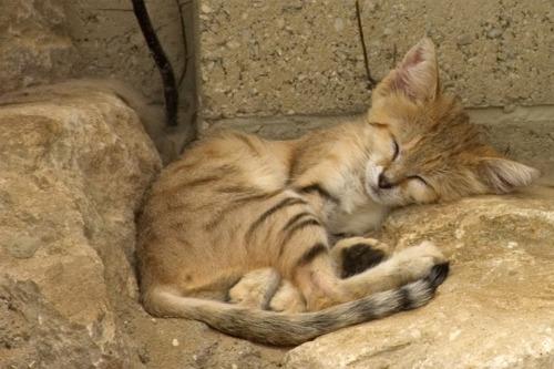 the only felid found primarily in true desert