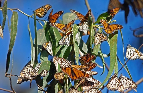 The monarch butterfly (Danaus plexippus), a milkweed butterfly, best known of all North American butterflies