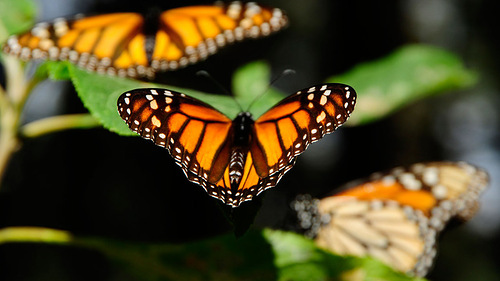Stunning Monarch butterfly