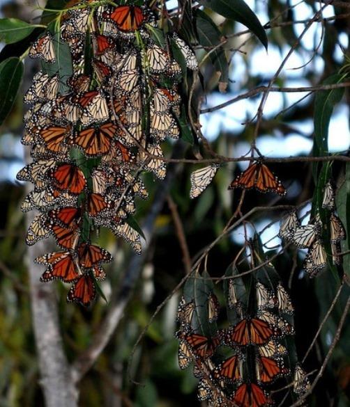 Beautiful Monarch butterfly