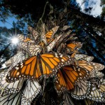 North American beautiful Monarch butterfly