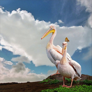 White pelicans. Work by Katarina Stefanovich, talented nature photographer from Belgrade, Serbia