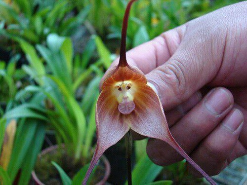 "Dracula simia, called also ""Monkey Orchid"" or ""The Monkey-Like Dracula,"" is an epithetic orchid in the genus Dracula"