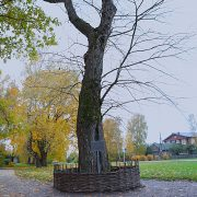 An oak tree, which Yesenin planted in 1924 (a year before his death)