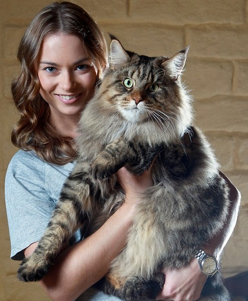 Australian mega-monster Rupert the largest cat in the world