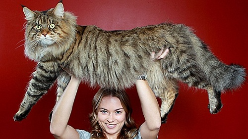 Rupert the largest cat in the world