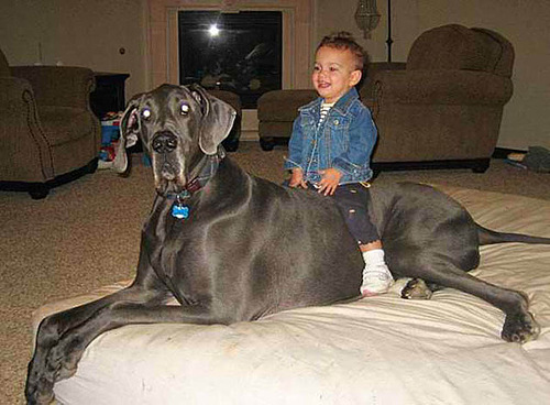 Favorite family dog Giant George - the world's tallest living dog, and the tallest dog ever according to the Guinness World Records