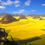 Oilseed rape fields, China