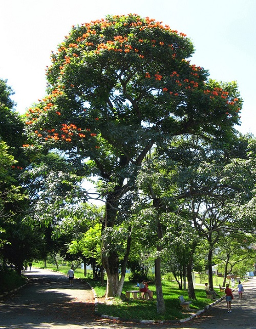 African native tulip tree Spathodea