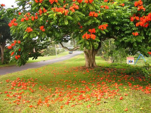 Spathodea tulip tree