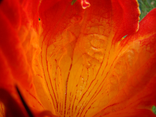 Blossoming tulip tree Spathodea