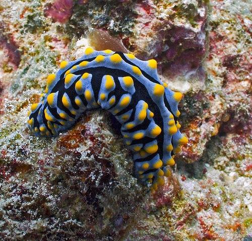 Phyllidia varicosa a species of sea slug, a shell-less marine gastropod mollusc in the family Phyllidiidae