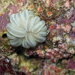 "Plerogyra sinuosa is a species of ""bubble coral"""