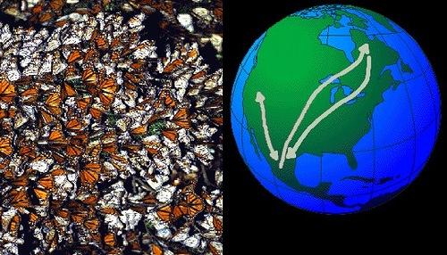 migration of butterflies