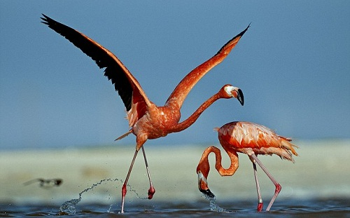 A couple of Caribbean flamingos by German photographer Klaus Nigge