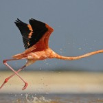 Running fast Caribbean flamingo captured by German photographer Klaus Nigge