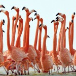 Pink flamingos by German photographer Klaus Nigge