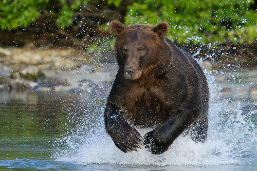 Charging Brown Bear. Photo by American nature photographer Richard Bernabe