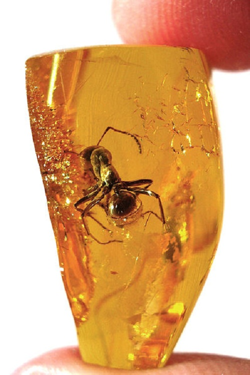 Jewelry created by nature-insects trapped in amber. Fossil ant (Formicidae) in Baltic amber.