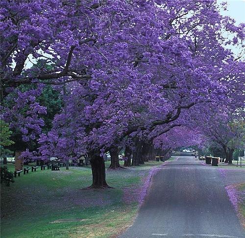 Jacaranda can be grown as street tree