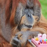 The oldest Orangutan Major is 50